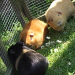 Guinea Pigs Pets' Holiday Shack